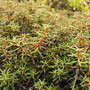 Our kitchen staff use Labrador tea in many recipes, going from syrups to desserts !