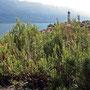wilder Rosmarin und im Hintergrund San Rocco