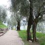 ein Olivenhain