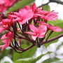 Frangipani Blüte