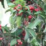 Java Apfel - sehr lecker