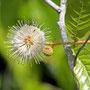 ich hab's: ein Honigball (Knopfblume) - Cephalanthus occidentalis