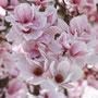 mal wieder Magnolienblüten