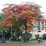 Feuerbaum in voller Blüte