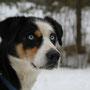 Alaskan Husky.