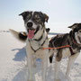 Alaskan Huskies.
