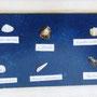Coquillages sur velour avec leurs noms scientifiques respectifs.