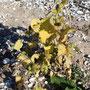 Spitzklette - Xanthium saccharatum