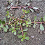 Gemüseportulak - Portulacca oleracea