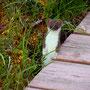 Hermelin am Deadman Lake