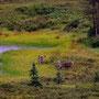Karibus im Denali NP