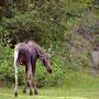 Elch in Anchorage / Kincaid Park