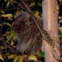 Stachelschwein im Baum