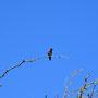 Kolibri Im Tonto NF
