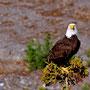 Bold Eagle am Copper River