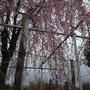 福岡の桜満開。雨で潤ったしだれ桜。