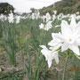 真ん中が白い水仙は珍しい。