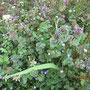 春の野草。見過ごしがちだか綺麗。3つの種類が混在してる。