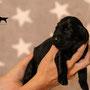 Noble Eagle Aiven Beatum - Bedeutung glücklicher Sieger / Rüde Weiss