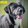 giugno 2017 - Brio, adottato a Roma...