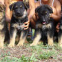 cuccioli mix pastore...tutti adottati!!!