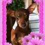 """ottobre 2013 - Camilla, dolce pelosetta di """"mezza età"""" è stata adottata!!! Ora vivrà a Velletri: sii felice piccola!"""