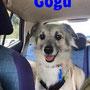 """novembre 2015- Gogu, una piccola """"meteora"""" del canile: in pochissimo tempo ha trovato chi si è innamorato di lui e ha deciso di adottarlo!!! eccolo felice, in macchina per andare a casetta!!!... buona vita tesoro!!!"""