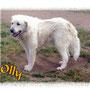 agosto 2015 - Olly...la dolce meringa extra large... è stata adottata!!! anche per lei, ora, solo coccole e amore a go-go!!!...