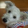2013.4.13 Snowyちゃんが正式譲渡になりました。