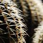 STING. cactus