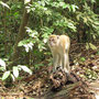Long tail macaque (Javaneraffe).