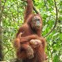 Die gefährliche Mina mit ihrem Nachwuchs. Angeblich hat die aus Gefangenschaft befreite Menschenäffin schon Dutzende von Dschungelführern angefallen und verletzt.