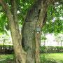 Betongestärkter Baum im Botanischen Garten (BG).