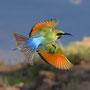 Regenbogenspint - Nördliches Territorium, Australien