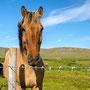 Islands berühmte Pferde