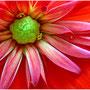 Ruge Heinz - Blumenstern