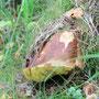 große Marone arbeitet sich durch den Waldboden