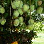 Nature's Harvest, Mangoes