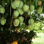 Nature's Harvest, Mangoes