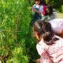 先生んちのキッチンガーデンで、サヤエンドウを収穫