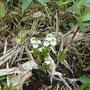 ミヤマコゴメグサ。小さくて可愛い花です。