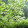 森林館のそばにあったアオダモの木