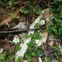 シロバナヘビイチゴ