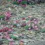 山頂駅のロックガーデンには、コマクサが沢山咲いてました。