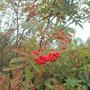 ナナカマド。秋を感じますね。