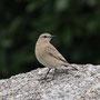 イナバヒタキ幼鳥