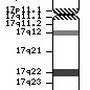 17番染色体の遺伝子図
