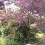 Иудино дерево в цвету