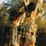 金色に輝く縄文杉。原始の森に、朝日が差す。ここが一晩の宿だった。           当時は幹にもたれて眠ることだってできたのだ。              屋久島 鹿児島