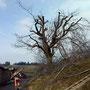 Kirschbaum nachher